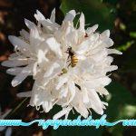 Những con ong giúp mùa hoa cà phê đậu trái